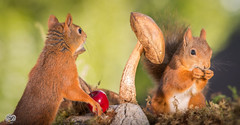 togethers place (Geert Weggen) Tags: autumn light red summer  plant cute fall apple nature mushroom animal closeup fruit mammal happy rodent moss spring squirrel funny bright ground toadstool geert perennial weggen ilobsterit hardeko