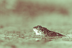 The Thinker (Derek Coull) Tags: bokeh duotone shallowdof lepuseuropaeus commonfrog