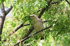 4T4A1273   Sturnus philippensis (SORO 556 by ENJOY DESIGN) Tags: canon wildbirds eos7d   sturnus philippensis