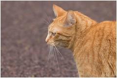 rode Poes (HP010422) (Hetwie) Tags: cat pond kat poes redcat vijver wijkpark brouwhuis