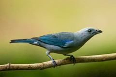 Blue-gray Tanager (gecko47) Tags: bird costarica perched tanager bluegraytanager thraupisepiscopus thraupidae