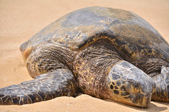HWI_1086 (Ikuhito) Tags: ocean blue cloud beach hawaii oahu turtle wave northshore honu