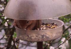 Red squirrel (green gennii) Tags: red garden squirrel jersey