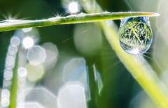 Goutte de rose  l'aube (20). (gille33) Tags: sun macro nature soleil drops waterdrop bokeh drop reflet droplet waterdrops goutte sigma150 nikond810 gillesremus