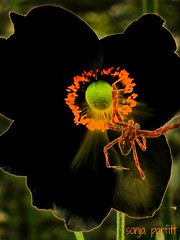 spider (Sonja Parfitt) Tags: black manipulated poppy layered