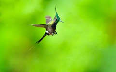 Wire-crested Thorntail (wanghc732) Tags: bird nature animals ecuador hummingbird