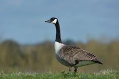 DSC_8057 (Birder Jez) Tags: rutland canadagoose rutlandwater