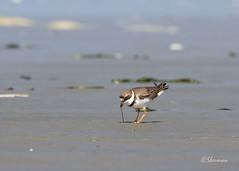 Semipalmated-Plover7 (Sherms Photo) Tags: birds canon bc tofino shorebirds 7dm2 shorebirdfestival2016