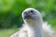Ehhh?? (Raul.c.a.) Tags: bird animal nikon vulture pajaro tamron buitre d600 carroero 150600