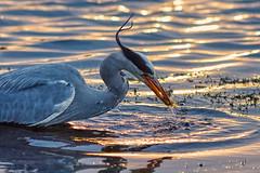 Last Catch Of The Day (paulinuk99999 - tripods are for wimps :)) Tags: park sunset fish london heron fishing dusk wildlife surrey catch prey bushy gret paulinuk99999 sal135f18za