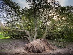 The Old Oak Tree (tonythomasuk) Tags: southport stormdamage botanicgardens 2016