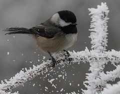 chickadee - icy perch (1 of 1) (DavidGuscottPhotography) Tags: red