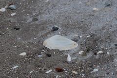 Eiskaltes Urlaubsmitbringsel (Sockenhummel) Tags: schnee winter sea snow beach strand fuji shell baltic finepix fujifilm rügen ostsee x30 binz muschel fujix30