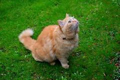 Ginger cat (Michiel2005) Tags: holland netherlands animal cat ginger leiden kat nederland rood dier poes rapenburg