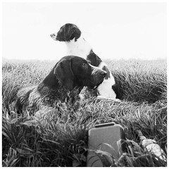 Dogs in B&W analogue (bo foto) Tags: bw dogs photography nikon fm boudewijn olthof littledoglaughednoiret