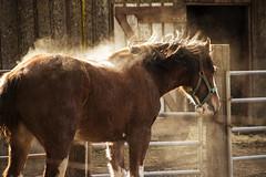 dusted (.sanden.) Tags: horse clydesdale dustbath shaking sonoma ca canon7dmarkii 18135mm sun highlight farm ranch brown action christmas unitedstates us sanden