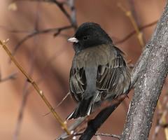 Dark-eyed Junco (fethers1) Tags: bird birds ngc npc redrocks coloradowildlife redrocksbirds redrockswildlife