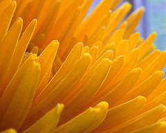Memories of Sunshine IMG_5043 (ForestPath) Tags: flower home sunshine yellow glow warmth mum kitchentable yelloworange storeflower