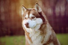 Fahren Husky Sibrien (marine.benchao) Tags: france color cute beautiful husky hiver fahren fah perfet siberien
