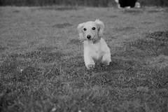 IMG_1173 (yukichinoko) Tags: dog dachshund 犬 kinako ダックスフント ダックスフンド きなこ