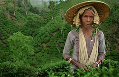 Traditional tea picking In the green tea garden of Srimangol, Bangladesh (magbrinik) Tags: asia tea teagarden bangladesh teaestate traditionalvillage travelphotography bengala ruralscene supershot southestasia rurallandscape womanportrait teapicking teapickers indiaportrait ruralportrait westbengala astoundingimage srimangol flickrtravelaward ruralfeeling bangladeshtribes bangladeshlife