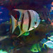 Greater Cleveland Aquarium 01-22-2015 - Atlantic Spadefish 1