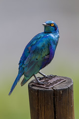Greater Blue Eared Starling (Sheldrickfalls) Tags: southafrica starling krugernationalpark mpumalanga krugerpark kruger lamprotornischalybaeus greaterblueearedstarling lowersabie lowersabiecamp