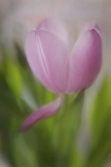 Pink Tulip Fading (suzanne.gibson) Tags: pink flower macro texture indoor tulip fading topazimpression velvet56