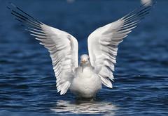 Ring-billed Gull (bmse) Tags: california beach canon wings long gull symmetry l f56 salah 400mm ringbilled wingsinmotion 7d2 bmse baazizi