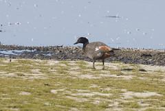 Paradise Shelduck (boombana) Tags: duck 2016 shelduck tadorna paradiseshelduck tadornavariegata lakewollumboola