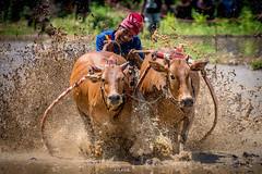 Pacu Jawi (2) (Quentin K) Tags: travel sumatra indonesia cow asia village mud sony bull adventure southeast padang jawi pacu bukitinggi