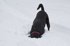 Scents Beneath the Snow (brucetopher) Tags: dog pet pets snow beautiful beauty puppy lab labrador down blackdog retreiver labradorretriever sniff pup scent rescuedog dogrescue headsdown blacklabdog onthescent louisianarescuedog