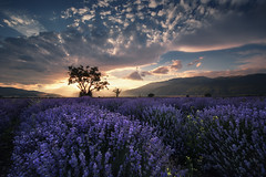 Twilight in the land of lavender (Krasi St Matarov) Tags: travel sunset flower tree beautiful clouds landscape purple outdoor lavender bulgaria workshop phototour