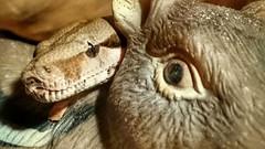UH - HO! (Sharon B Mott) Tags: eye nature reptile snake uhoh boaconstrictor sonyxperiaz3