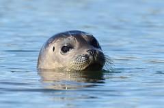 Pacific Harbor Seal (Phoca vitulina richardsi) DDZ_5356 (NDomer73) Tags: mammal december best seal better harborseal elkhornslough 2015 pacificharborseal 17december2015