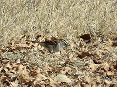 White-throated Sparrow (Elephant Butte SP) (stinkenroboter) Tags: newmexico bird whitethroatedsparrow zonotrichiaalbicollis paseodelrio elephantbuttestatepark