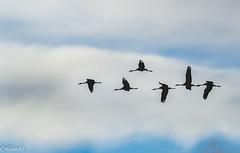 Rentre au dortoir... (Crilion43) Tags: france nature centre ciel arbres cher nuages paysage oiseaux bleue msange charbonnire grues cendre diversnature