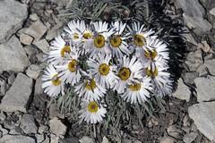 Easter Daisies, Townsendia hookeri (Jeff Mitton) Tags: wildflower wondersofnature townsendia easterdaisy townsendiahookeri earthnaturelife