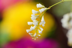 /Hardenbergia violacea (nobuflickr) Tags: flower nature japan botanical kyoto   the garden hardenbergiaviolacea     20160214dsc01306