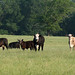 Cow calf pairs graze summer forages in Madison County, Texas  NRCS photo by Beverly