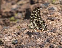 PGC_7893-20150917 (C&P_Pics) Tags: butterfly western zambia zm insectsandspiders zambiatonamibia