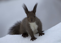 Japan. (richard.mcmanus.) Tags: winter snow animal japan mammal squirrel hokkaido gettyimages mcmanus redsquirrel lakekussharo