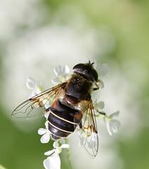 Eristalis lineata (4) (saracenovero) Tags: flies 2012 syrphidae diptera mazeikiai eristalislineata fliesoflithuania