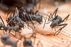 Polyrhachis ants. (David Ball.) Tags: singapore ants polyrhachis canon270ex