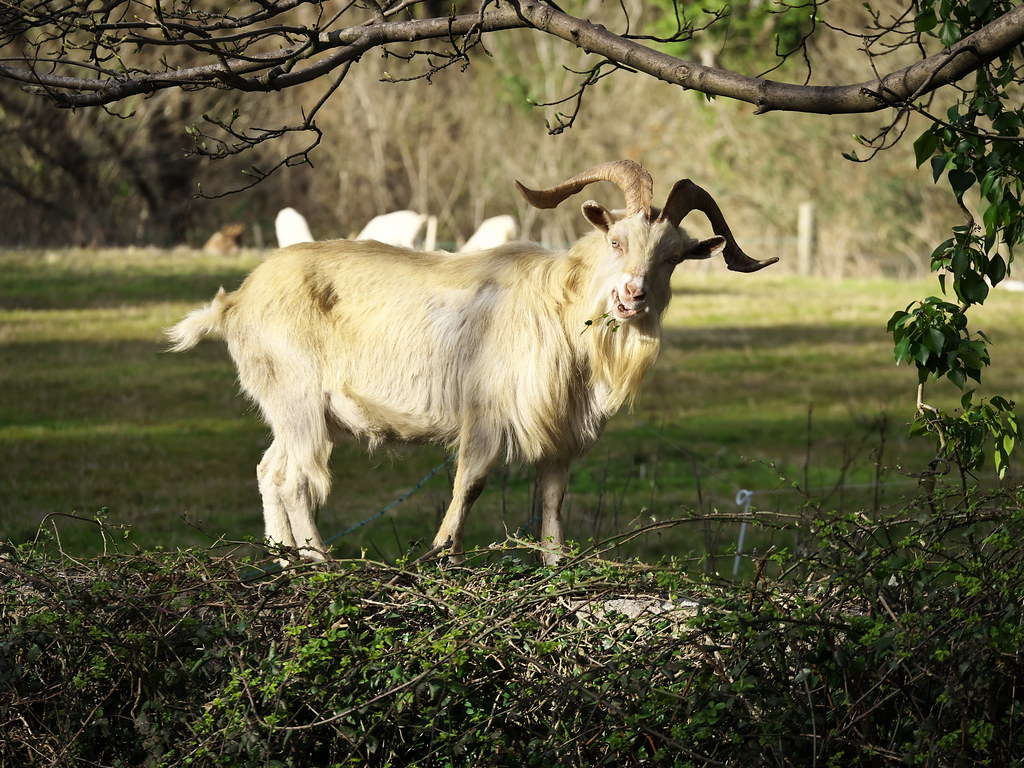The World's most recently posted photos of feral and goat ...