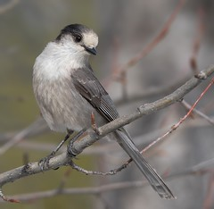 Gray Jay (Perisoreus canadensis), also Grey Jay, Canada Jay or Whiskey Jack (wmckenziephotography) Tags: bird nature wildlife grayjay greyjay whiskeyjack