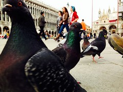 Pigeons' crowd (bmonmirel) Tags: venice italy bird birds islands place pigeons crowd tourists campanile curious piazza patsy venise curiosity italie doves sanmarco groups redeyes