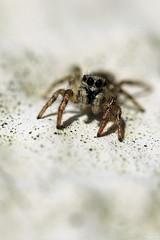 Saltique chevronne (Mariie76) Tags: macro noir yeux animaux blanc gros araignes salticidae macrophotographie saltique chevronne