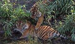 sumatran tiger bugerszoo JN6A5405 (j.a.kok) Tags: tiger sumatrantiger tijger burgerszoo pantheratigrissumatrae sumatraansetijger
