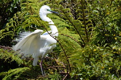 Eastern great egret, adult in breeding plumage (New Zealand) (|kris|) Tags: newzealand wild white black tree green bird heron nature face animal yellow forest neck grey bill wings rainforest long adult nest native outdoor turquoise wildlife beak waterbird ardea ave breeding nz southisland ferns westcoast wit egret westland facial greategret wading vogel plumes nesting nieuwzeeland plumage greatwhiteegret ferntree ardeidae nuevazelanda ardeaalba sdinsel necked ciconiiformes pelecaniformes whiteheron okaritolagoon greatwhiteheron chordata kotuku nuovazelanda whataroa nyazeeland nouvellezlande iledusud zuidereiland aalba ardeaalbamodesta ardeamodesta easterngreategret ktuku nationallycritical waitangirotonaturereserve waitangiroto egretaalbamodesta